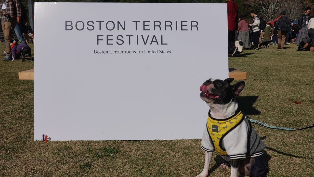 フェスティバル ボストン テリア